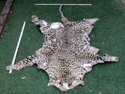 A 14-leopard (1720x1100mm)